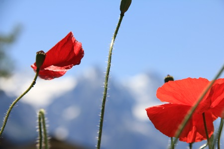 Rote-Blumen-GV